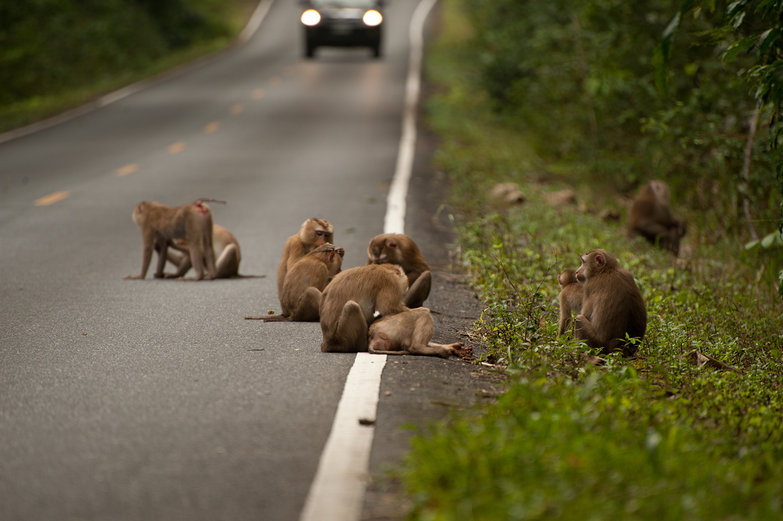 Monkeys on the Road!