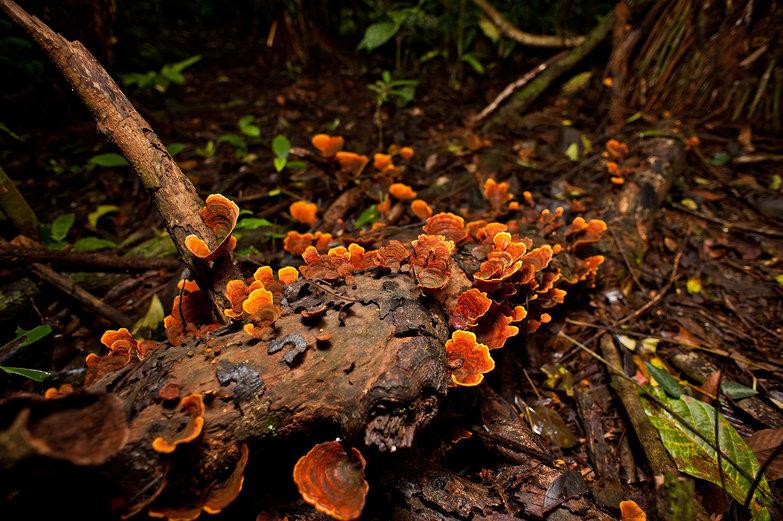 Jungle Fungus