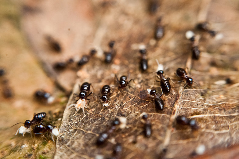 Ants Carrying Their Babies?