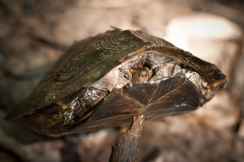 Shy Thai Turtle