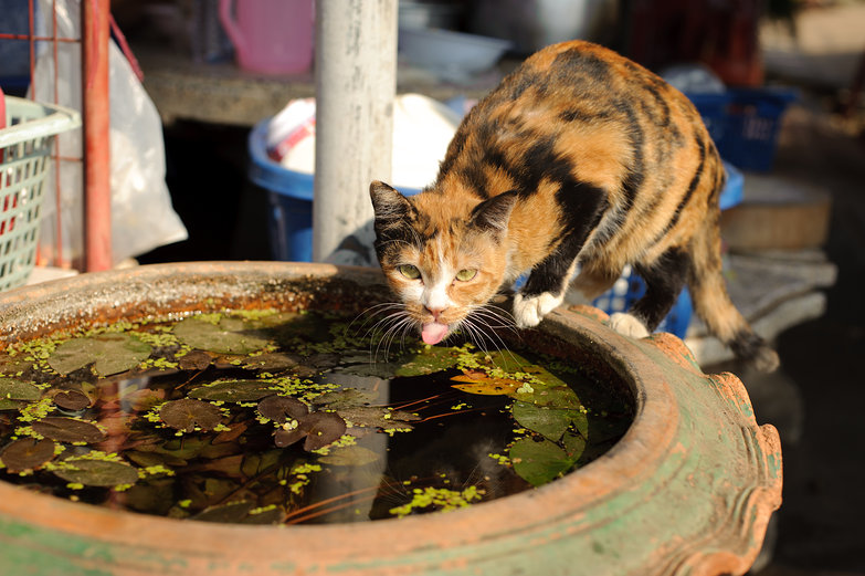 Thai Cat Drinking
