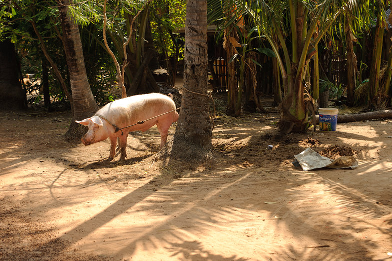 Roadside Cambodian Pig