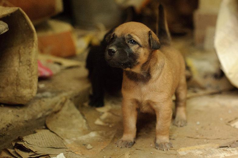 Cambodian Puppy!