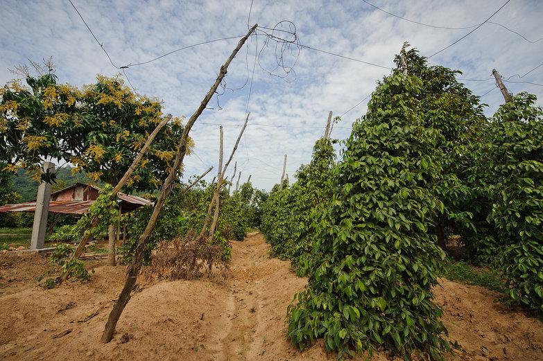 Cambodian Pepper Plantation