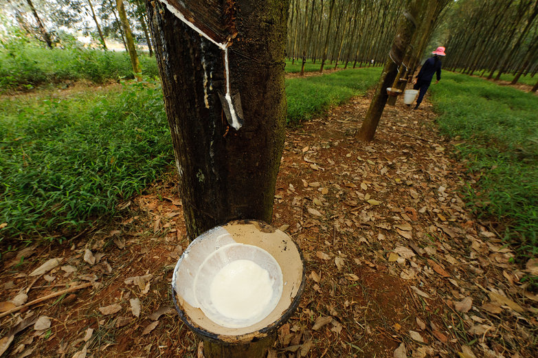 Rubber Tree Latex Collection Dish