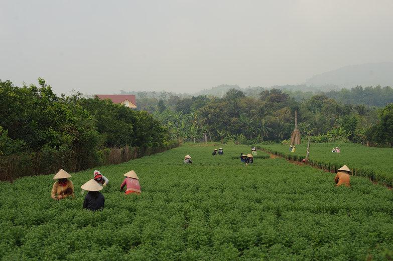 Vietnamese Field Workers
