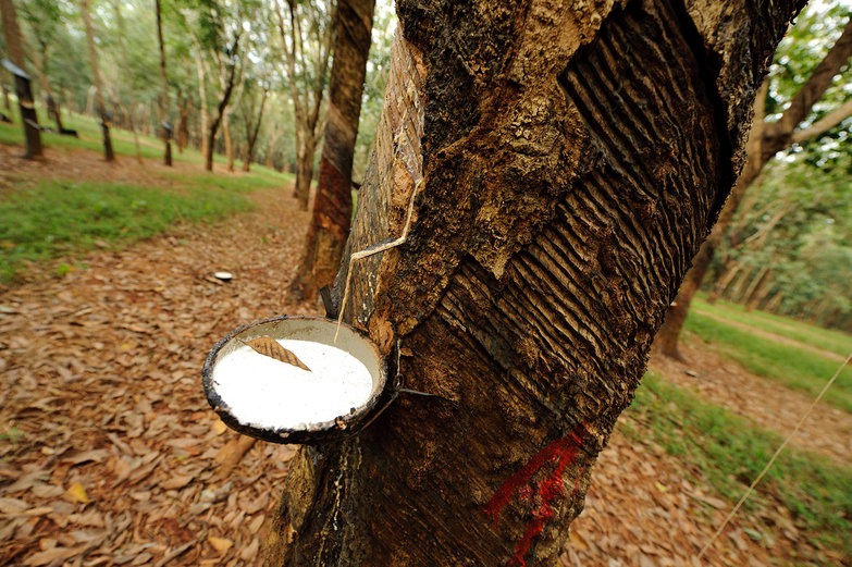 Rubber Tree Tap
