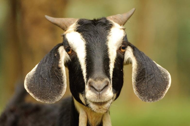 Vietnamese Goat