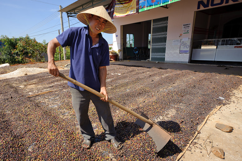 Vietnamese Man Raking Coffee Berries