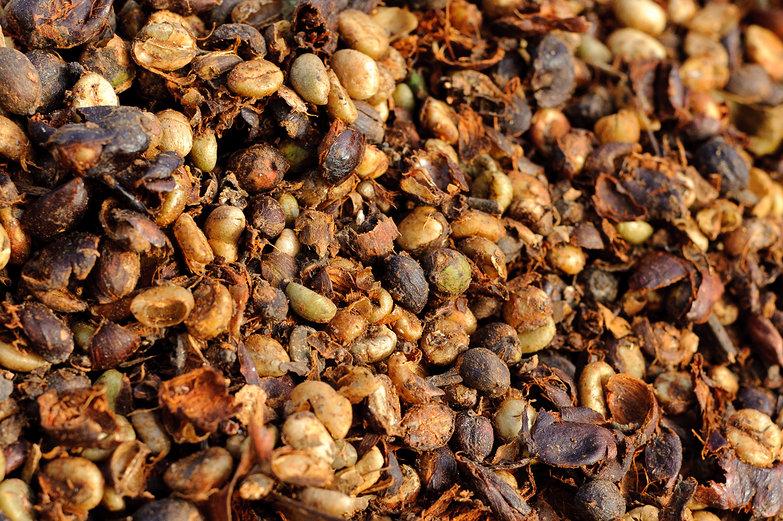 Coffee Berries & Beans Drying