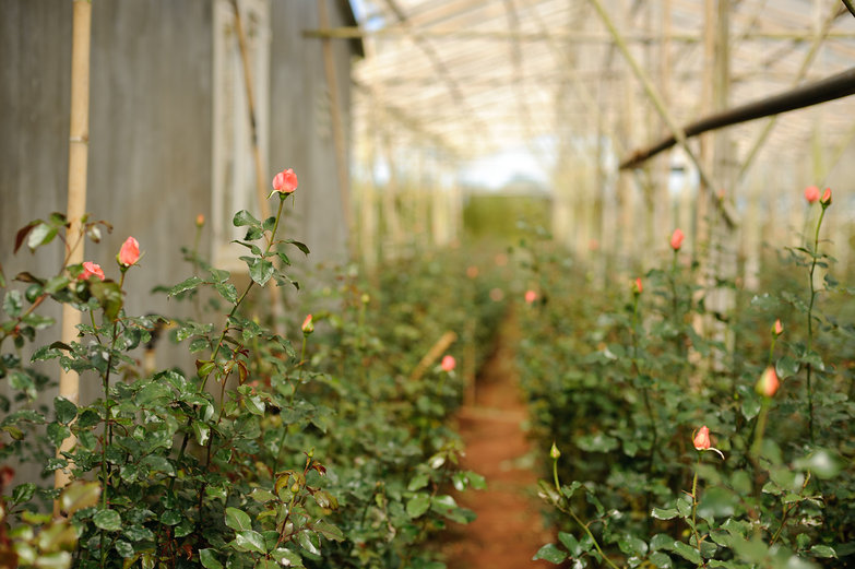Greenhouse of Roses