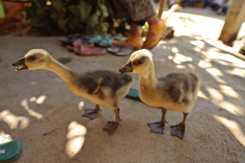 Lao Ducks!