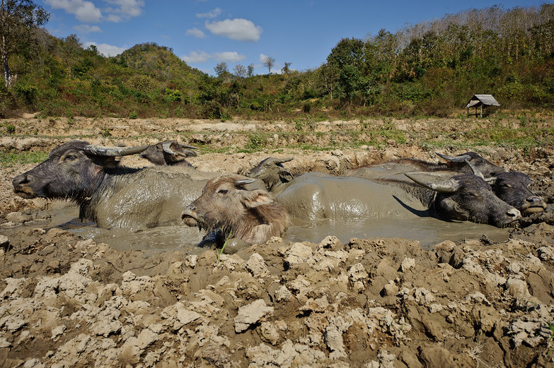 Water Buffalo in a Mud Pit