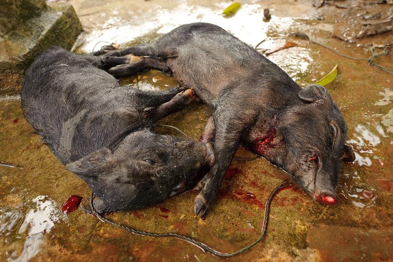 Slaughtered Piglets