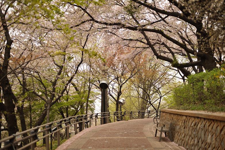 Korean Park w/ Cherry Blossoms