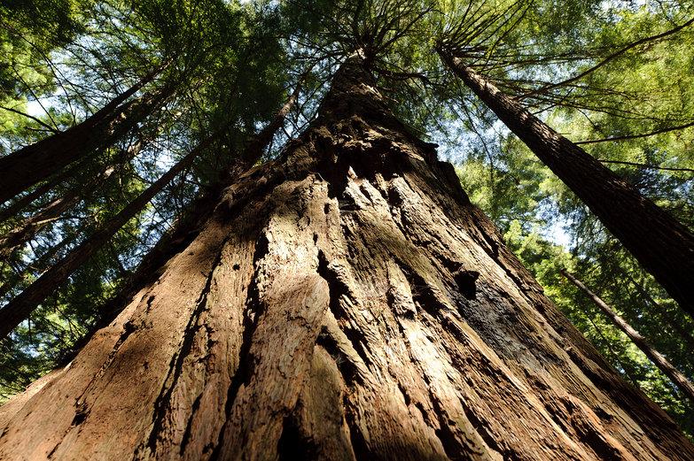 Redwood at Muir Woods