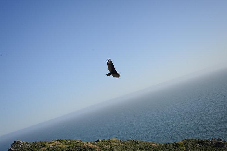 Swooping Coastal Bird