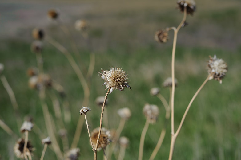 Dry Weeds/Flowers