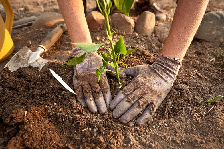 Tara Planting a Pepper Plant
