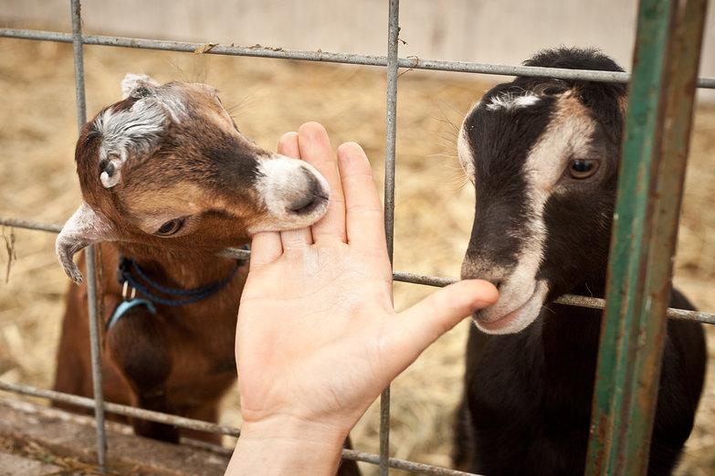 Goat Eating Tyler's Hand