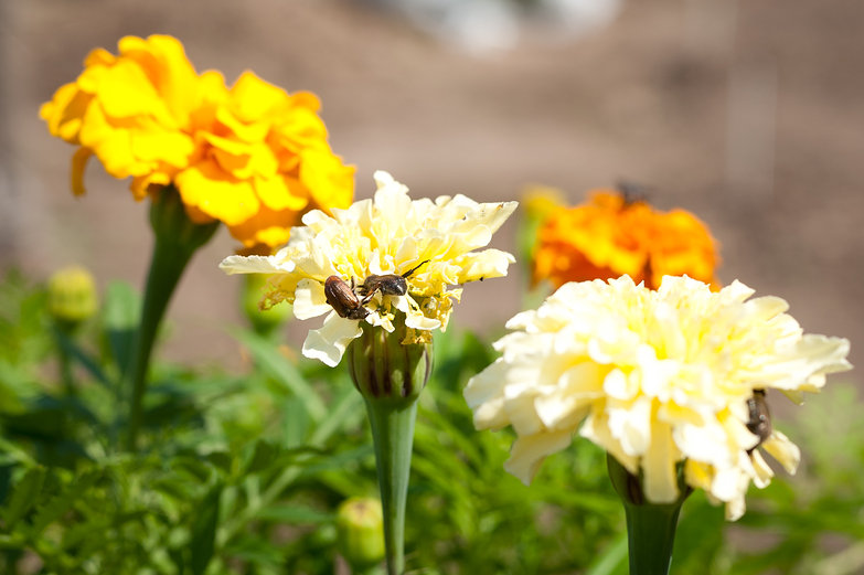 Japanese Beetles on Marigolds