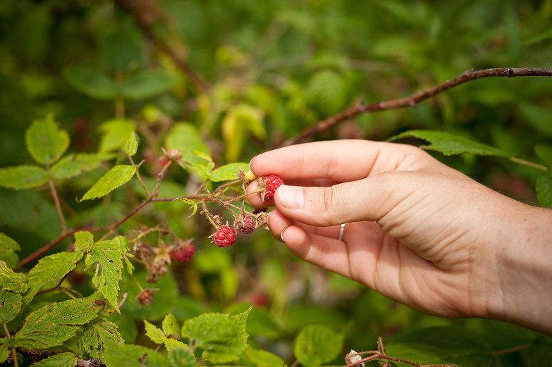 Picking Rasperries