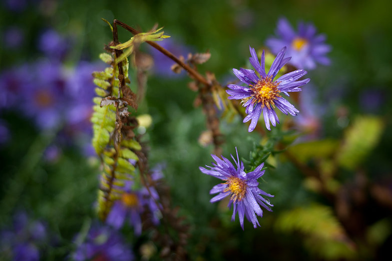 Wet Asters