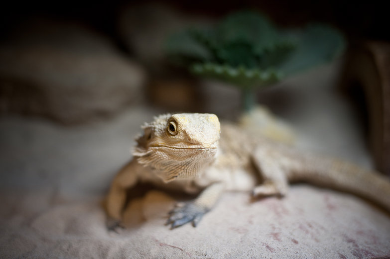 Patricia the Bearded Dragon