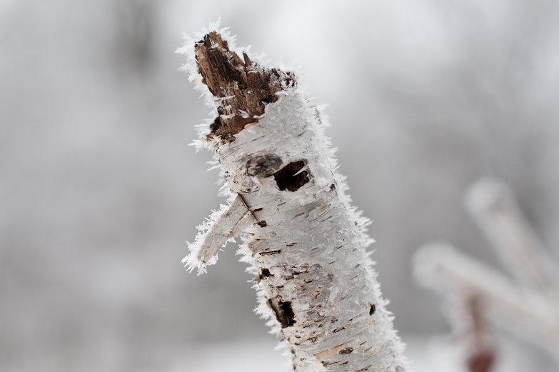 Frosty Birchbark