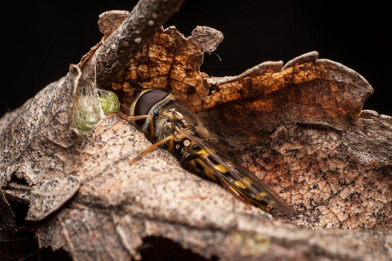 Macro Hoverfly