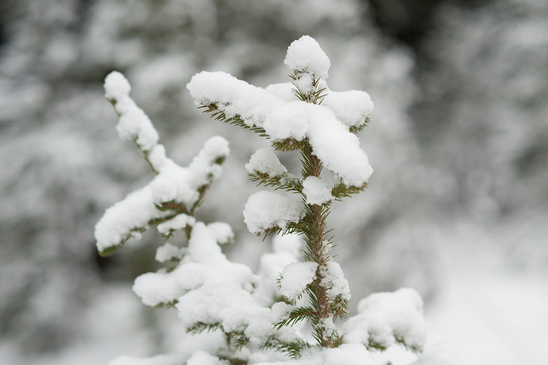 Baby Pine Tree Covered in Snow