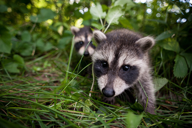 Raccoon Babies!
