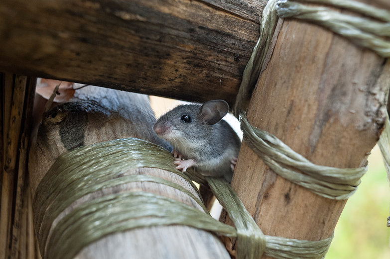 Mouse on Thatch Frame