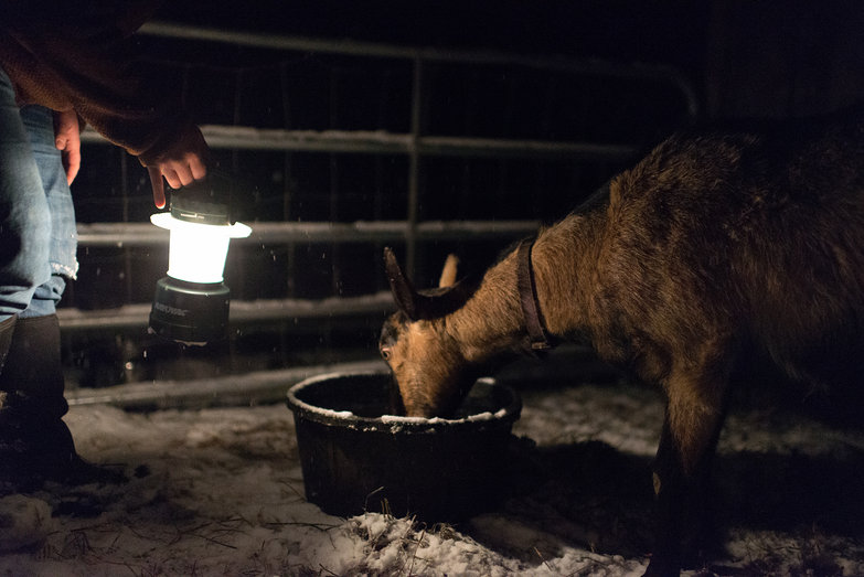 Pregnant Goat Drinking by Lantern Light