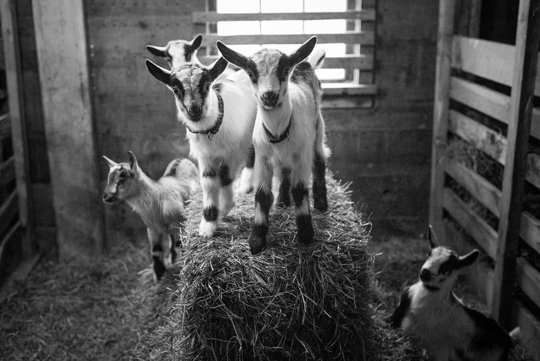 Baby Goats on a Haybale