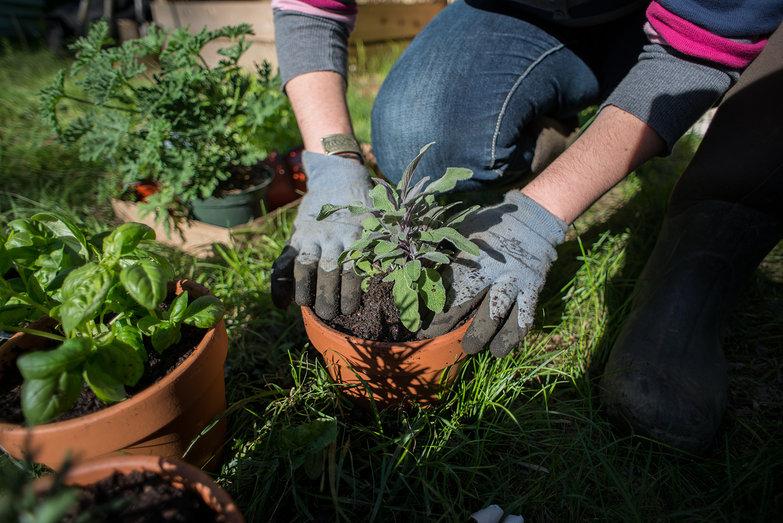 Tara Planting Sage