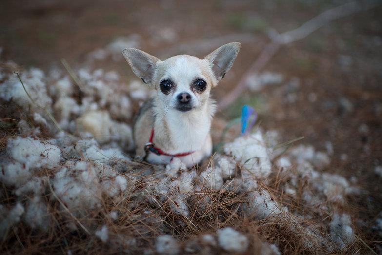 Tiny Dog in Sheep Shearing