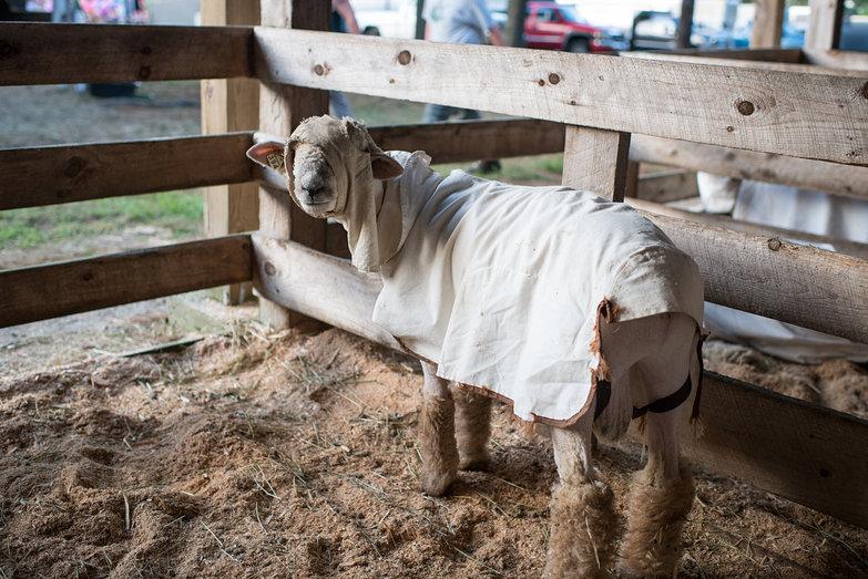 Ossipee Valley Fair Sheep