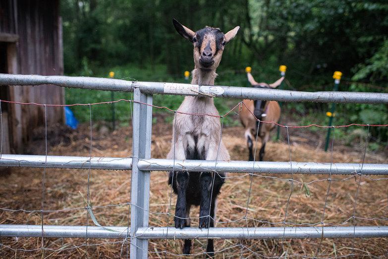 Jenna's Goat