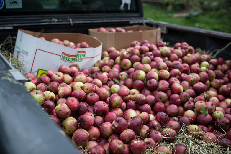 Jenna's Truck, Full of Apples for Cider