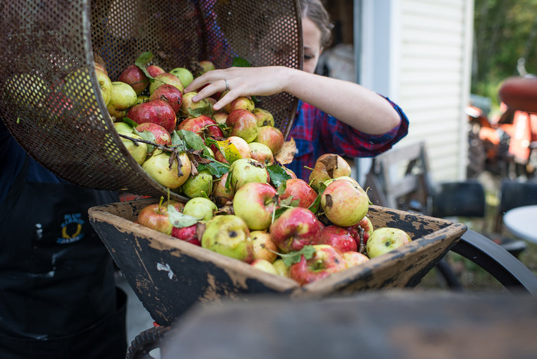 Loading Apples into Cider Mill Hopper