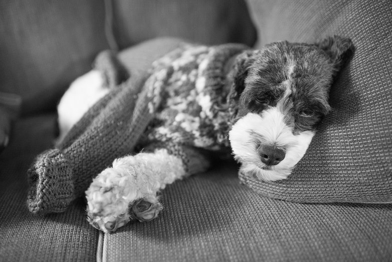 Zoso the Dog, Relaxing in his Sweater
