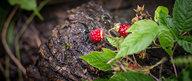 Wild Raspberry on Log